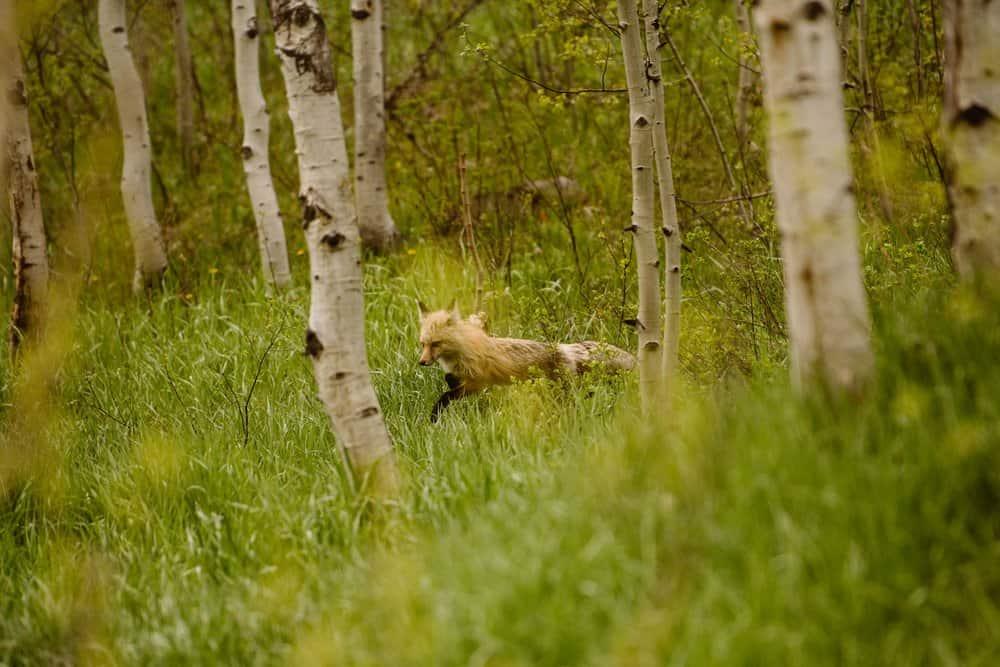 fox-aspen-colorado