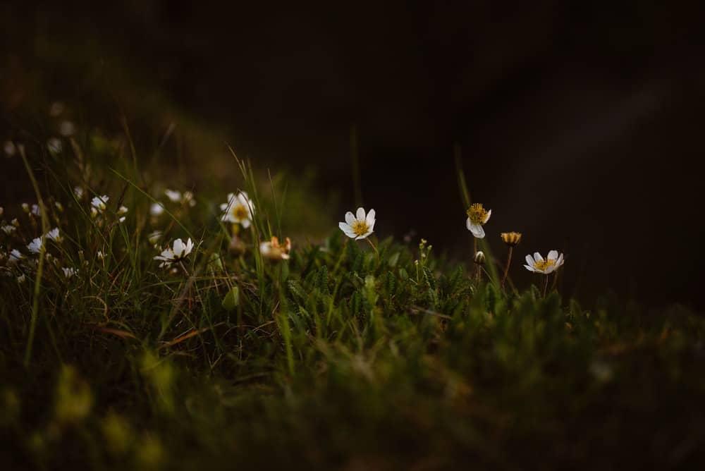 Iceland-Flora