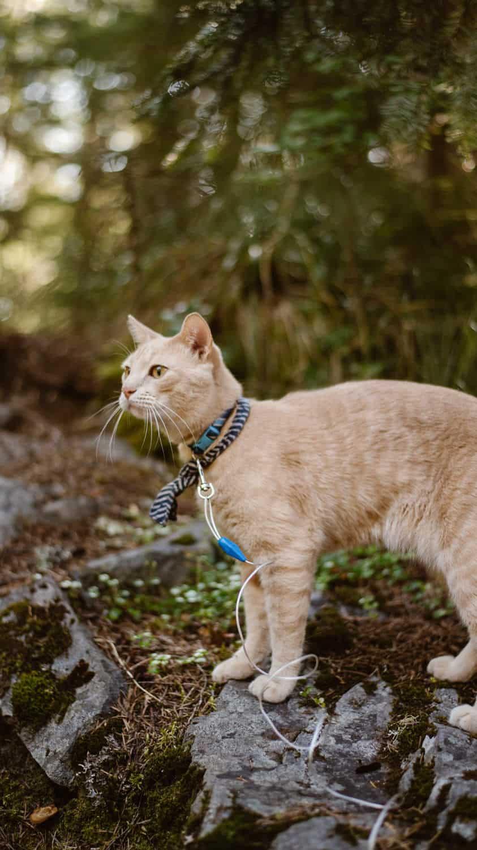 hiking-cat